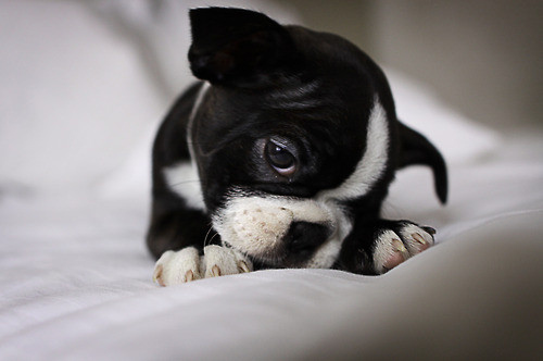 animal-animals-bed-boston-terrier-cuddle-cuddly-Favim.com-85899_large